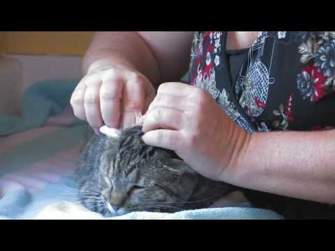 Cat Care : Removing Ear Wax From Cats